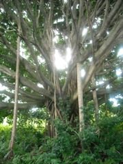 Elementals Perched In Banyan Tree Haiku Maui